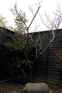 露天の桜の木
